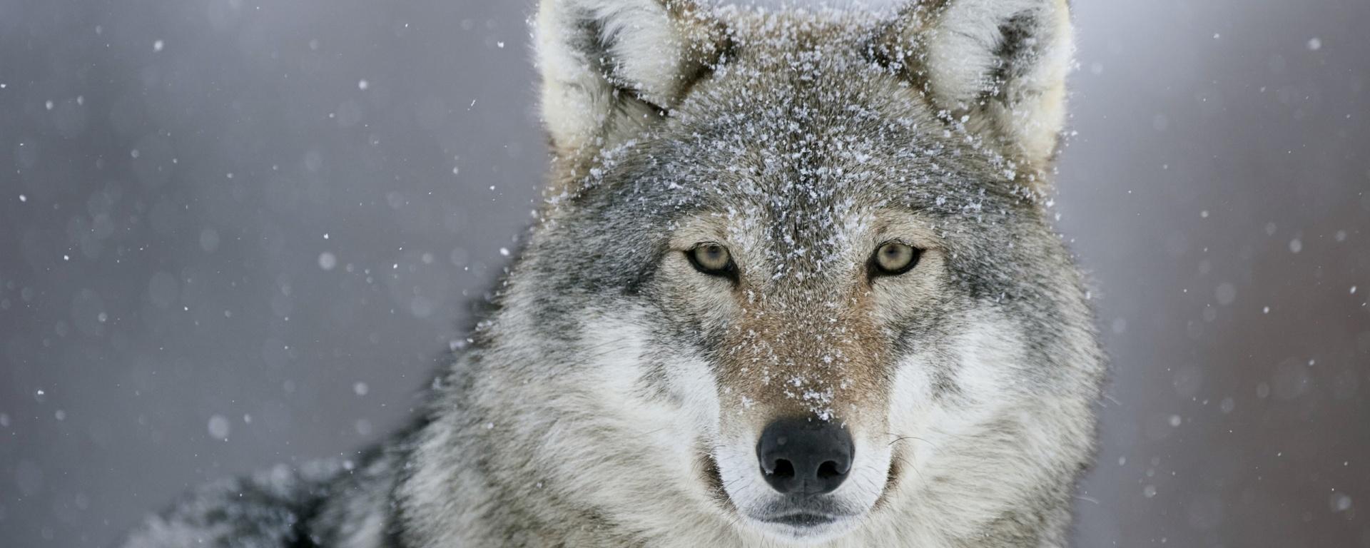 Lone Wolf Strategist